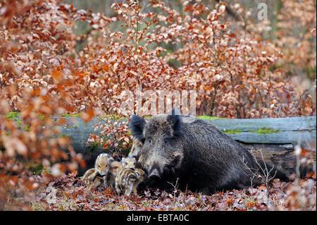 Wildschwein, Schwein, Wildschwein (Sus Scrofa), wilde Sau mit Shoats im herbstlichen Wald, Deutschland, Nordrhein - Stockfoto