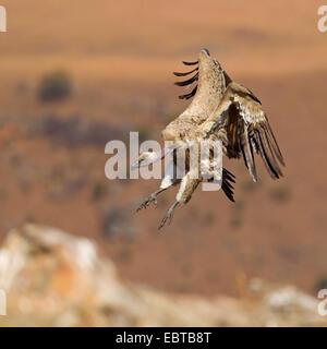 Kap Geier (abgeschottet Coprotheres), Landung, South Africa, Kwazulu-Natal, Giants Castle - Stockfoto