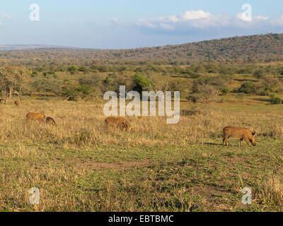 gemeinsamen Warzenschwein, Savanne Warzenschwein (Phacochoerus Africanus), in Savannen, Südafrika, Hluhluwe-Umfolozi - Stockfoto