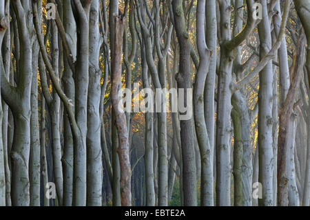 mecklenburg vorpommern buche baum wald bei sonnenaufgang stockfoto bild 36770078 alamy. Black Bedroom Furniture Sets. Home Design Ideas