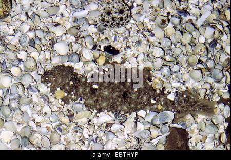 gemeinsamen alleinige (Seezunge) (Solea Vulgaris, Solea Solea), halbe gegraben in unter Muscheln auf dem Meeresgrund - Stockfoto