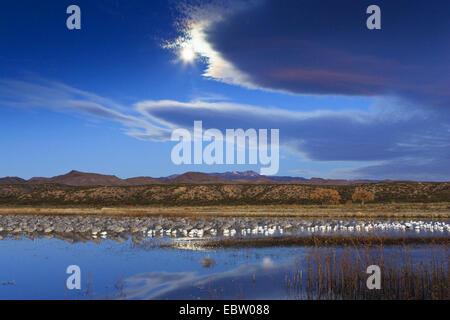 Schneegans (Anser Caerulescens Atlanticus, Chen Caerulescens Atlanticus), Snowgeese und Kraniche an ihrem Schlafplatz - Stockfoto