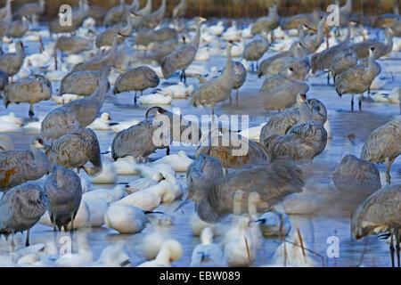 Schneegans (Anser Caerulescens Atlanticus, Chen Caerulescens Atlanticus), Schnee Gänse und Kraniche in Wildlife - Stockfoto