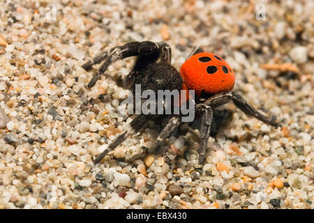 marienk fer spinne eresus niger eresus cinnaberinus weiblich stockfoto bild 48889878 alamy. Black Bedroom Furniture Sets. Home Design Ideas