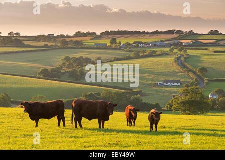 North Devon Red Ruby Rinder Herde Weiden in die hügelige Landschaft, Black Dog, Devon, England. (Juli) im Sommer - Stockfoto