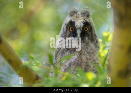 Junge Waldohreule (Asio Otus) im Baum, Nationalpark Neusiedler See, Burgenland, Österreich - Stockfoto