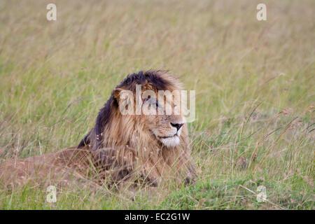 "Löwe ""Scar"" der Sumpf stolz, Masai Mara, Kenia - Stockfoto"