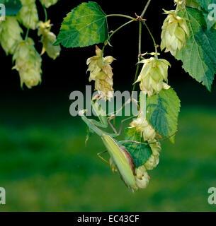 Mimikry-Gottesanbeterin (Mantis Religiosa) weibliche getarnt, zwischen die Blätter und Blüten des Hopfens - Stockfoto