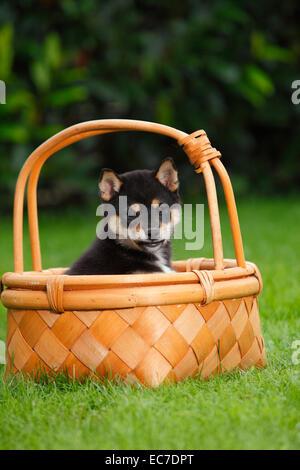 Shiba Inu Welpen sitzen in einem Korb auf einer Wiese - Stockfoto