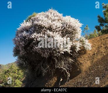Retama Raetam (Retama Blanca), eine weiß blühende, stark duftenden Ginster blühen im Mai in den Caldera de Pedro - Stockfoto