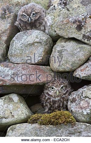 Kleine Eule mit Baby (Athene Noctua), Gefangenschaft, UK - Stockfoto