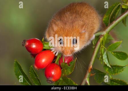 Rose Hüfte, Haselmaus, Hagebutten, Hasel-Maus, Haselmaus, Haselmaus Muscardinus Avellanarius, Muscardin, Bilch - Stockfoto