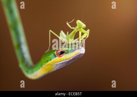 Indonesien, Riau-Inseln Batam City, Mantis auf Schlange - Stockfoto