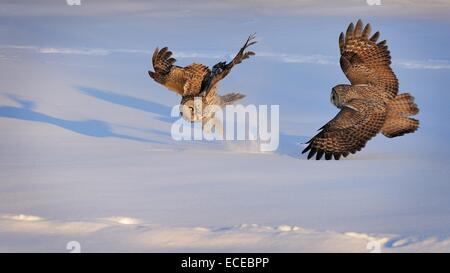 Zwei große grau-Eulen kämpfen, Montreal, Quebec, Kanada - Stockfoto