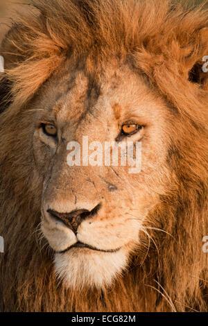 Morani, einer der männlichen Löwen Marsh stolz, Masai Mara in Kenia - Stockfoto