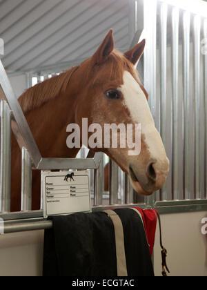 Glücklich Paint Horse mit seinen Ohren oben hängen in seinem Stall. - Stockfoto