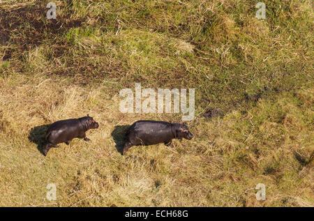 Flusspferde (Hippopotamus Amphibius), zu Fuß in Richtung einer nahegelegenen Sumpfgebiet, Luftaufnahme, Okavango - Stockfoto