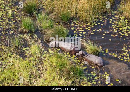 Flusspferde (Hippopotamus Amphibius), in einem Süßwasser-Sumpf, Luftaufnahme, Okavango Delta, Moremi Game Reserve, - Stockfoto