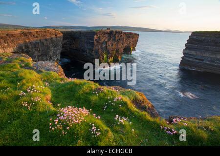 Sparsamkeit auf der Klippe in Downpatrick, County Mayo, Irland wächst. - Stockfoto