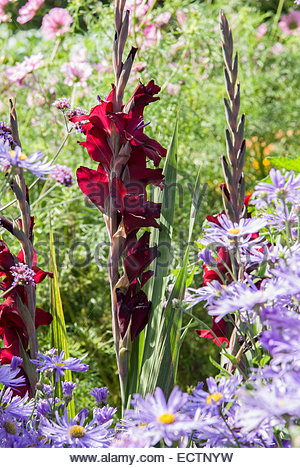 tiefrote gladiolen umgeben von lila aster x frikartii. Black Bedroom Furniture Sets. Home Design Ideas