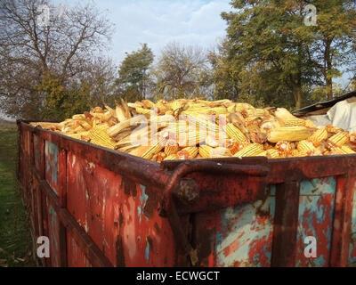 Maiskolben vom Trailer auf Bauernhof - Stockfoto