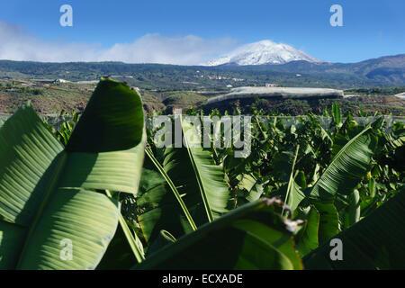 Teneriffa - Mount Teide im Schnee, November, von in der Nähe von Alcala gesehen. Bananenplantagen im Vordergrund. - Stockfoto