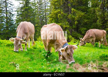Brown Swiss Kühe auf einer Weide in der Alp Wald, Schweiz-Interlaken - Lauterbrunnen selektiven Fokus - Stockfoto