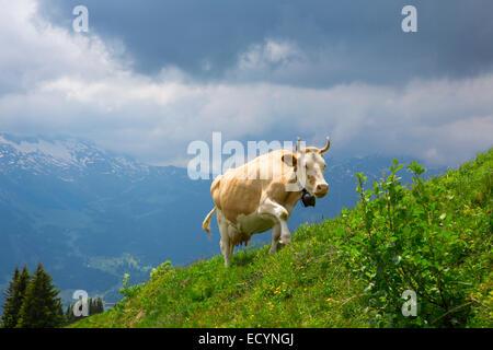 Brown Swiss Kühe auf einer Weide in der Alp, Schweiz-Interlaken - Lauterbrunnen selektiven Fokus - Stockfoto