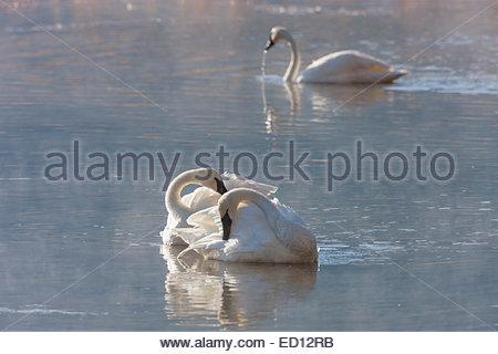 Drei Trumpeter Schwäne (Cygnus Buccinator) ruhen und putzen auf einem Teich in das National Elk Refuge, Jackson - Stockfoto