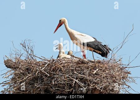 Weißstorch mit jungen Baby Storch auf dem Nest-Ciconia ciconia - Stockfoto