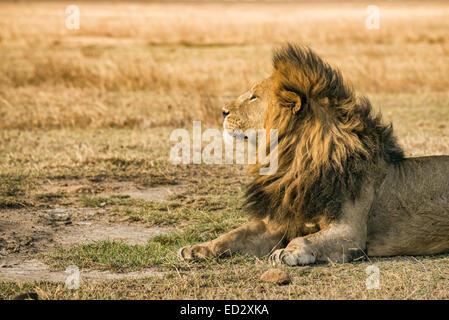 Einsamer Löwe ruht in der Ngorongoro Crater, Tansania - Stockfoto