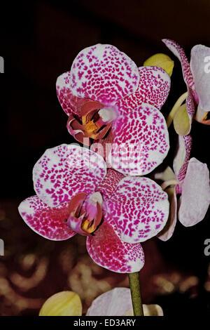Atemberaubende weiße Blumen gesprenkelt mit Dunkelrot von Mimulus ...