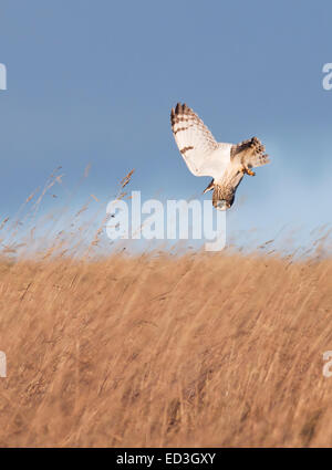 Wilde Short Eared Eule Asio Flammeus Abtauchen auf Beute auf grobe Grasland in Gloucestershire - Stockfoto