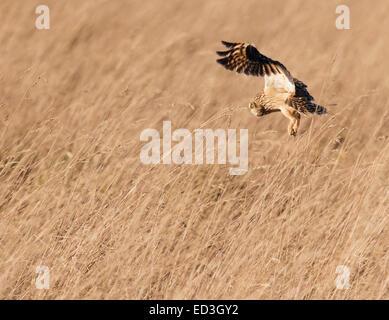 Wilde Short Eared Eule Asio Flammeus Jagd über grobe Grasland in Gloucestershire - Stockfoto