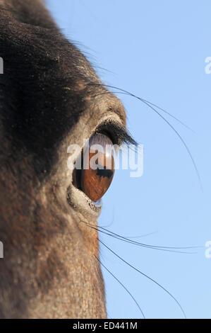 Auge von einem braunen Warmblut Pferd - Stockfoto