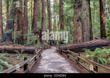 Wanderweg, obwohl der Redwood-Wald im Muir Woods National Monument durch einen umgestürzten Baum zu schneiden. - Stockfoto