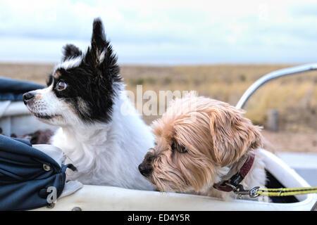 Zwei älteren Hunden, ein Papillon und ein Yorkshire-Terrier, sitzend in einem Vintage Kinderwagen in die gleiche - Stockfoto