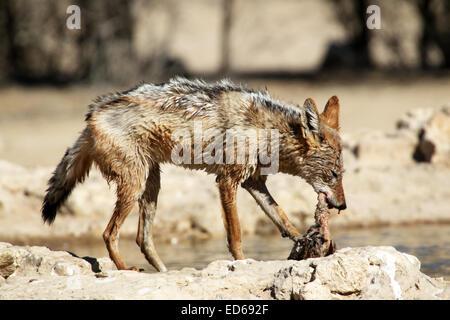 schwarzen unterstützt Schakal Canis Mesomelas mit Beute einen Namaqua Sandgrouse Vogel Kgalagadi Transfrontier National - Stockfoto