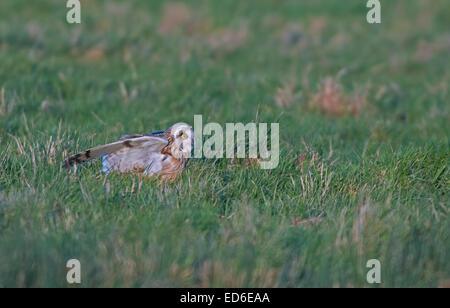 Short-eared Eule Asio Flammeus landet auf dem Rasen auf der Suche nach Nahrung. Winter. UK - Stockfoto