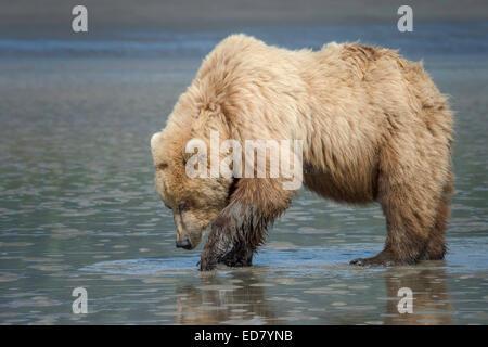 Brauner Bär auf der Suche nach Muscheln im Wattenmeer - Stockfoto