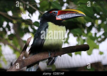 Südamerikanischer Vogel