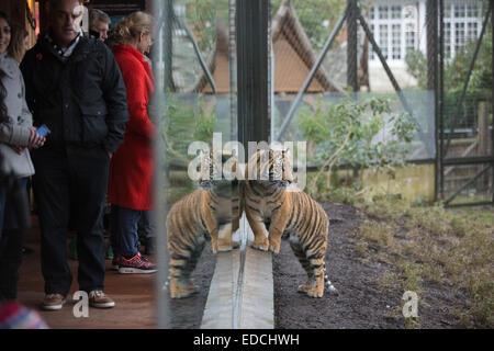 London, UK. 5. Januar 2015. Junge Sumatra-Tiger herumlaufen Gehäuse während der ZSL London Zoo jährliche Bestandsaufnahme - Stockfoto