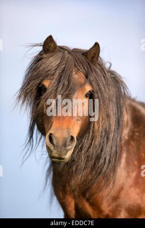Shetland Pony Portrait Bucht Hengst Unst Shetlands - Stockfoto