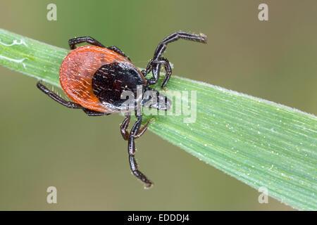 Rizinuspflanze Zecke Ixodes Ricinus weibliche Klinge Grass Deutschland - Stockfoto