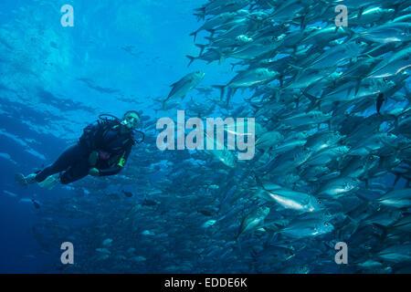 Weibliche Taucher beobachten eine Schule Bigeye Makrelen (Caranx Sexfasciatus), Palau - Stockfoto