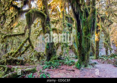 Hoh Regenwald, Olympic Nationalpark, Washington, USA - Stockfoto