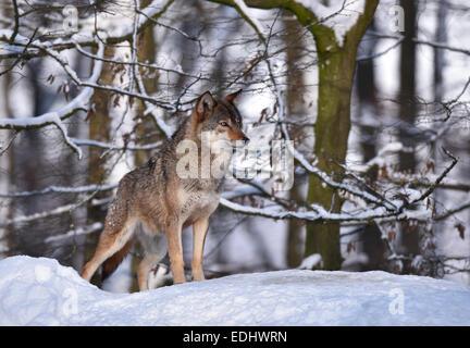 Nordwestlichen Wolf (Canis Lupus Occidentalis) im Schnee, aufmerksam, Gefangenschaft, Baden-Württemberg, Deutschland - Stockfoto