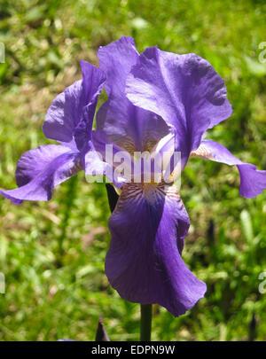 eine blume blau iris auf vollbild vertikale ansicht hintergrund aus gr nen bl ttern datum. Black Bedroom Furniture Sets. Home Design Ideas