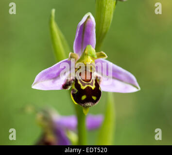 Biene Orchidee, Dorset Juni 2014 - Stockfoto