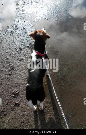 Jack Russell kleiner Hund an der Leine angesehen von hinten auf einer Asphaltstraße Oberfläche in Wales UK KATHY - Stockfoto